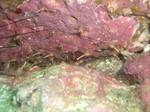 サラサエビの巣